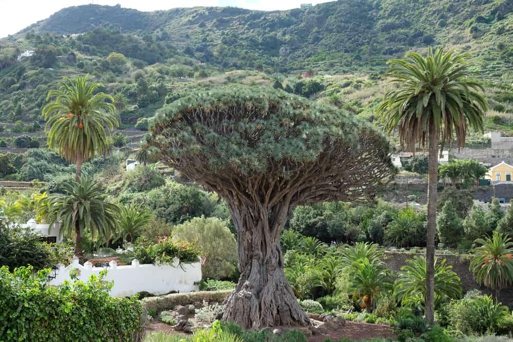 Tenerife Icod de los Vinos 2017 ©Etpourtantelletourne.fr