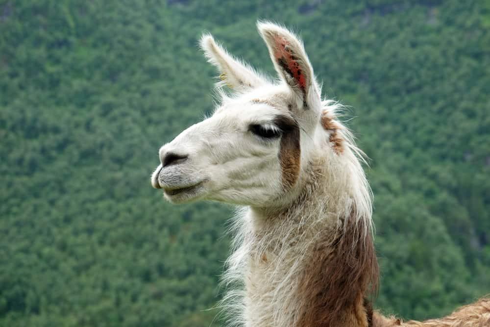 Randonnée à Geiranger avec les lamas ©Etpourtantelletourne.fr